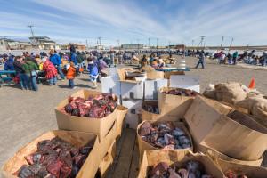 Nalukatuk festival, celebrating the successful subsistence spring Bowhead whale hunt, Barrow, Alaska.